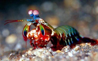 Creature Feature: Peacock Mantis Shrimp
